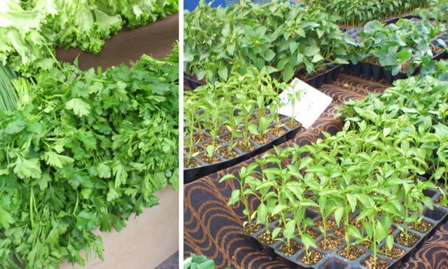 Dainty Parsley and Other Herbs